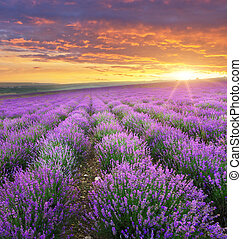 Meadow of lavender. - Meadow of lavender on sunrise. Nature...