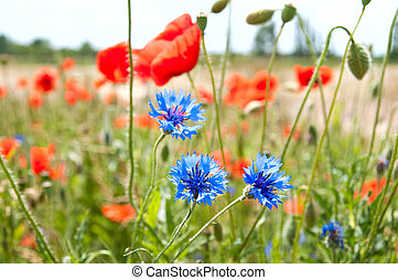 meadow of poppies and cornflowers. selective focus
