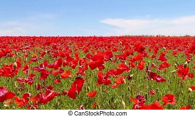 meadow of red poppies against blue sky in windy day,  rural background