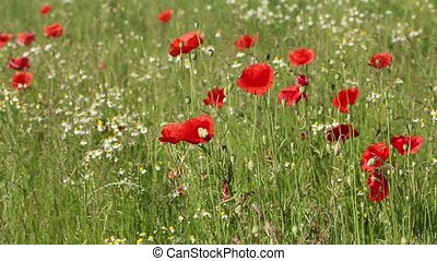 Meadow of red poppies - Red poppies are moving in the breeze...