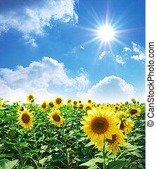 Meadow of sunflowers - Big meadow of sunflowers. Design of ...