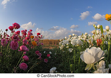 Meadow of the blossoming pink, yellow and white buttercups