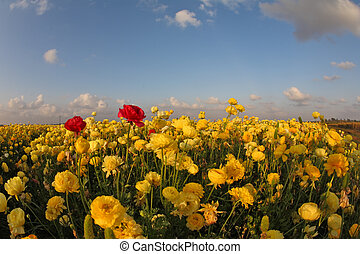 Meadow of the blossoming yellow and red buttercups