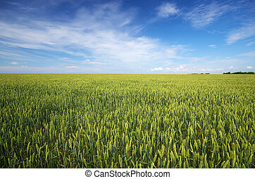 Meadow of wheat and cloudy sky
