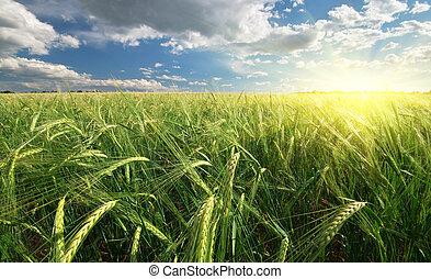 Meadow of wheat