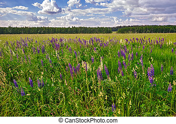 Meadow of wild lupins