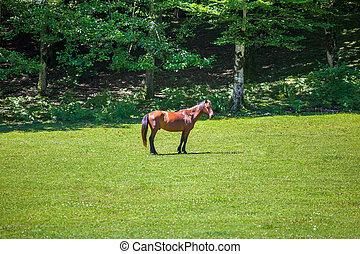 meadow., pasto, cavalo, jovem, pastado