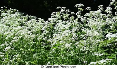 Meadow plants with white small flowers lit by sunlight