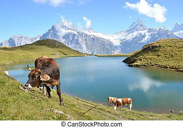 meadow., région, jungfrau, suisse, vaches, alpin