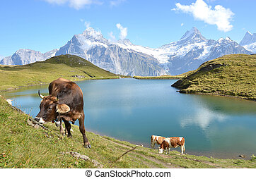 meadow., regione, jungfrau, svizzera, mucche, alpino