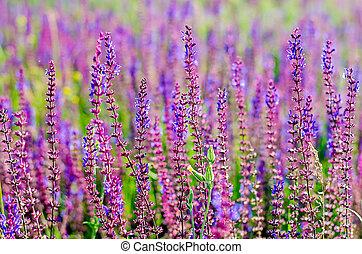 Meadow Sage flowers