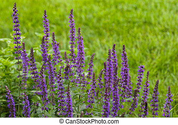Meadow Sage Salvia flower plant in garden