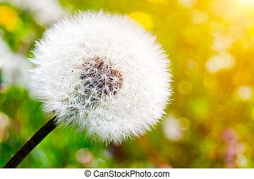 meadow., szczelnie-do góry, mniszek lekarski, wiosna, słoneczny, zielony