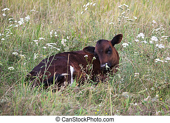 meadow., veau