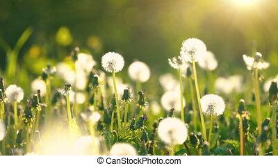 meadow., vert, pissenlits, ensoleillé