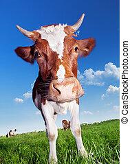 meadow., vert, vache