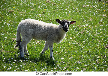 Adorable speckled face lamb in a meadow wandering about.