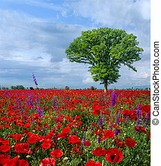 Meadow with beautiful bright red poppy flowers in spring