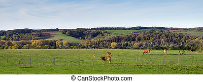 meadow with brown limousin cows in the fall in dutch province of south limburg