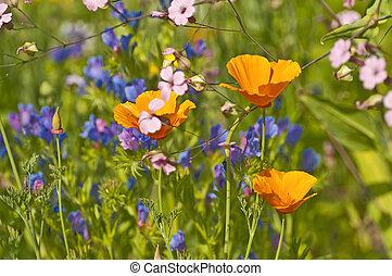 meadow with Californian poppy