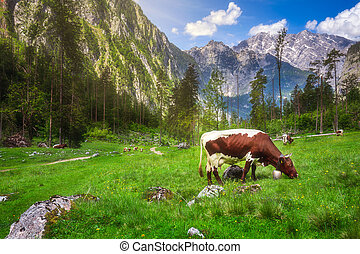 Meadow with cows in Berchtesgaden National Park - Beautiful...