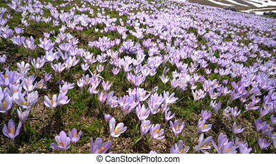 meadow with crocuses in the foothills - meadow in the...