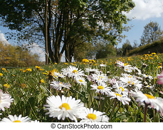 Meadow with daisies and dandelions