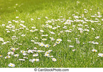 Meadow with daisies, beautiful green background with flowers.