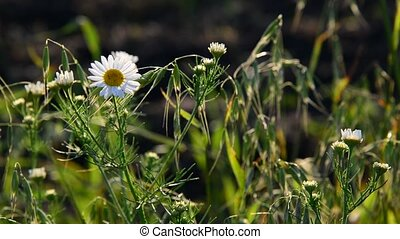 Meadow with daisies in evening light