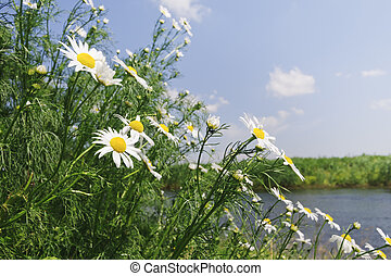 Meadow with daisy flowers