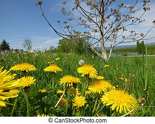 Meadow with dandelions
