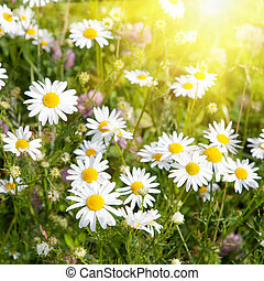 Meadow with grass and daisies and sunshine