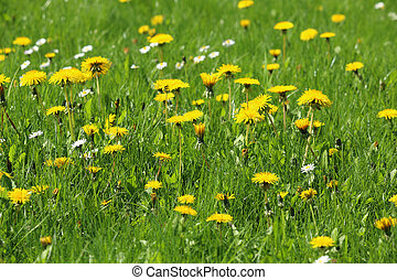 Meadow with green grass and dandelion and daisy blossoms