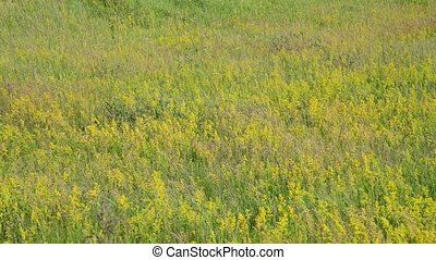 meadow with herbs European part of Russia - meadow with wild...