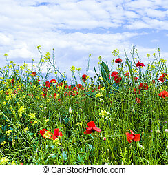 meadow with poppys, yellow flowers and blue sky