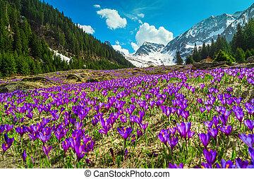 Meadow with purple crocus flowers and snowy mountains, Transylvania, Romania