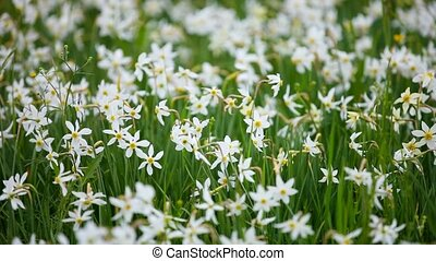 Meadow with wild daffodils flowers - Meadow with blossoming...