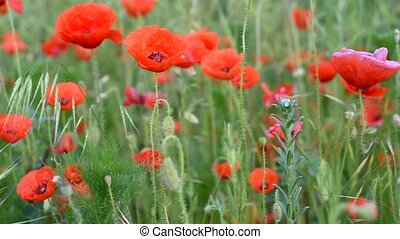 Meadow with wild poppies in bloom - Scenic view of meadow...
