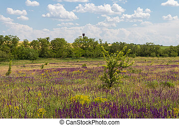 Meadow with wild purple salvia flowers. Summer landscape
