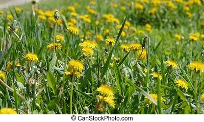 Meadow with yellow dandelions slow motion video - Meadow...