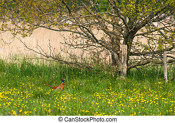 Meadow with yellow flowers and a pheasant