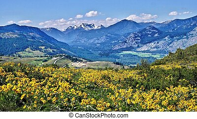 Meadows with Arnica flowers, winding road and mountains.