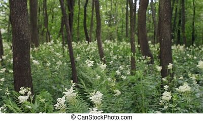 Meadowsweet white flowers among alders in swamps -...