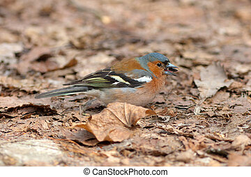 Meal for the chaffinch