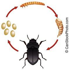 mealwoem, levenscyclus