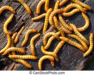 Mealworm background detail