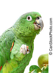 Mealy Amazon parrot eating on white - Mealy Amazon parrot,...