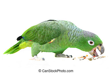Mealy Amazon parrot on white background - Mealy Amazon...