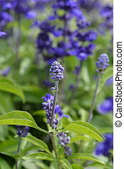 Mealy Cup Sage flower bud - Latin name - Salvia farinacea