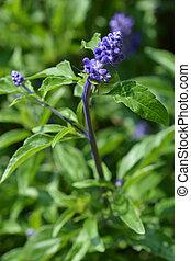Mealy Cup Sage - Latin name - Salvia farinacea Evolution